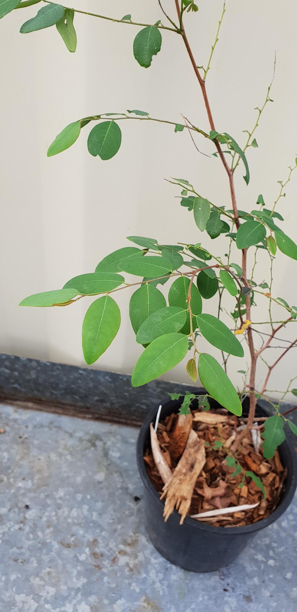 Breynia - Coffee Bush