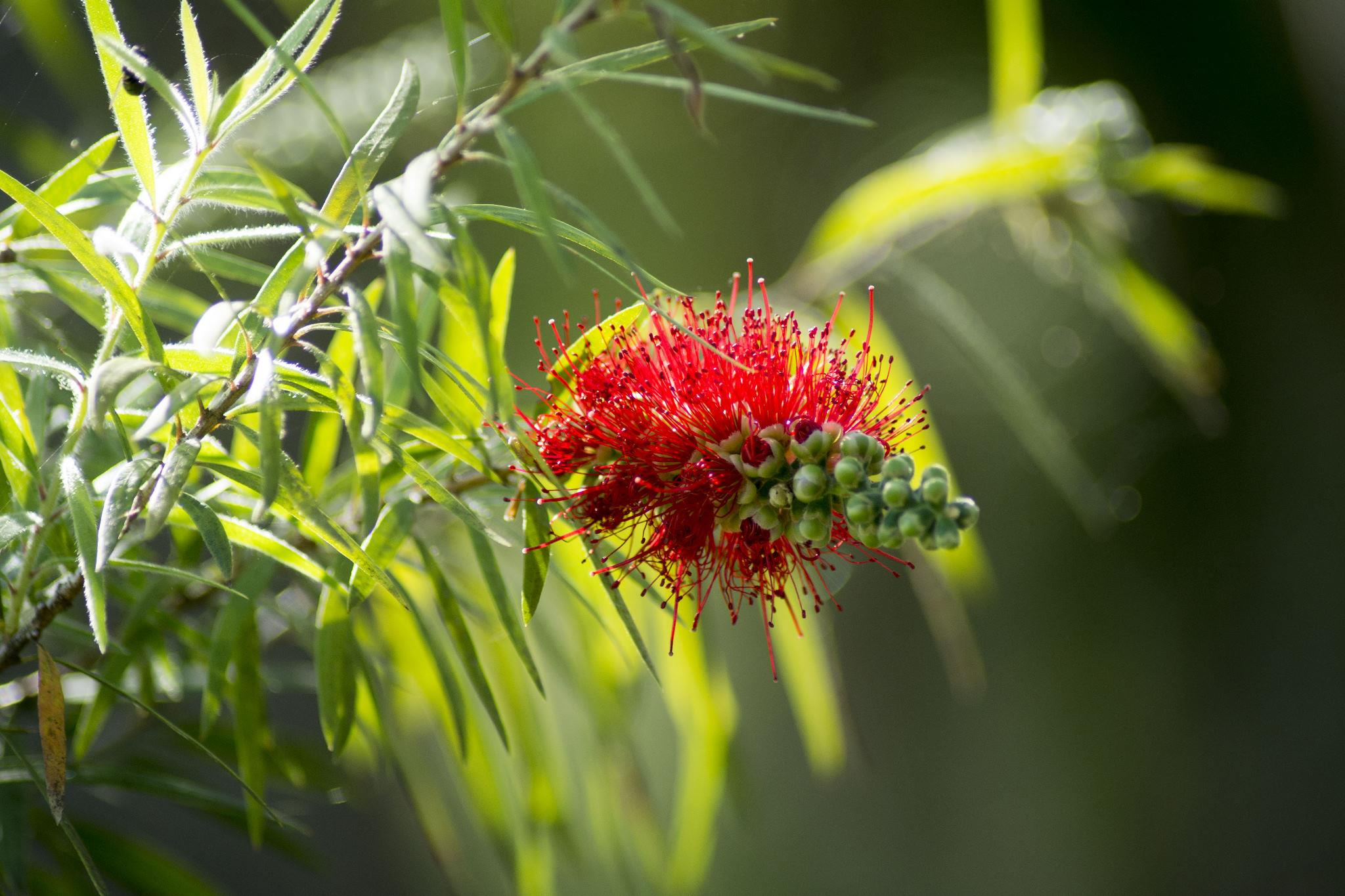 Callistemon Hannah Ray -  Flower