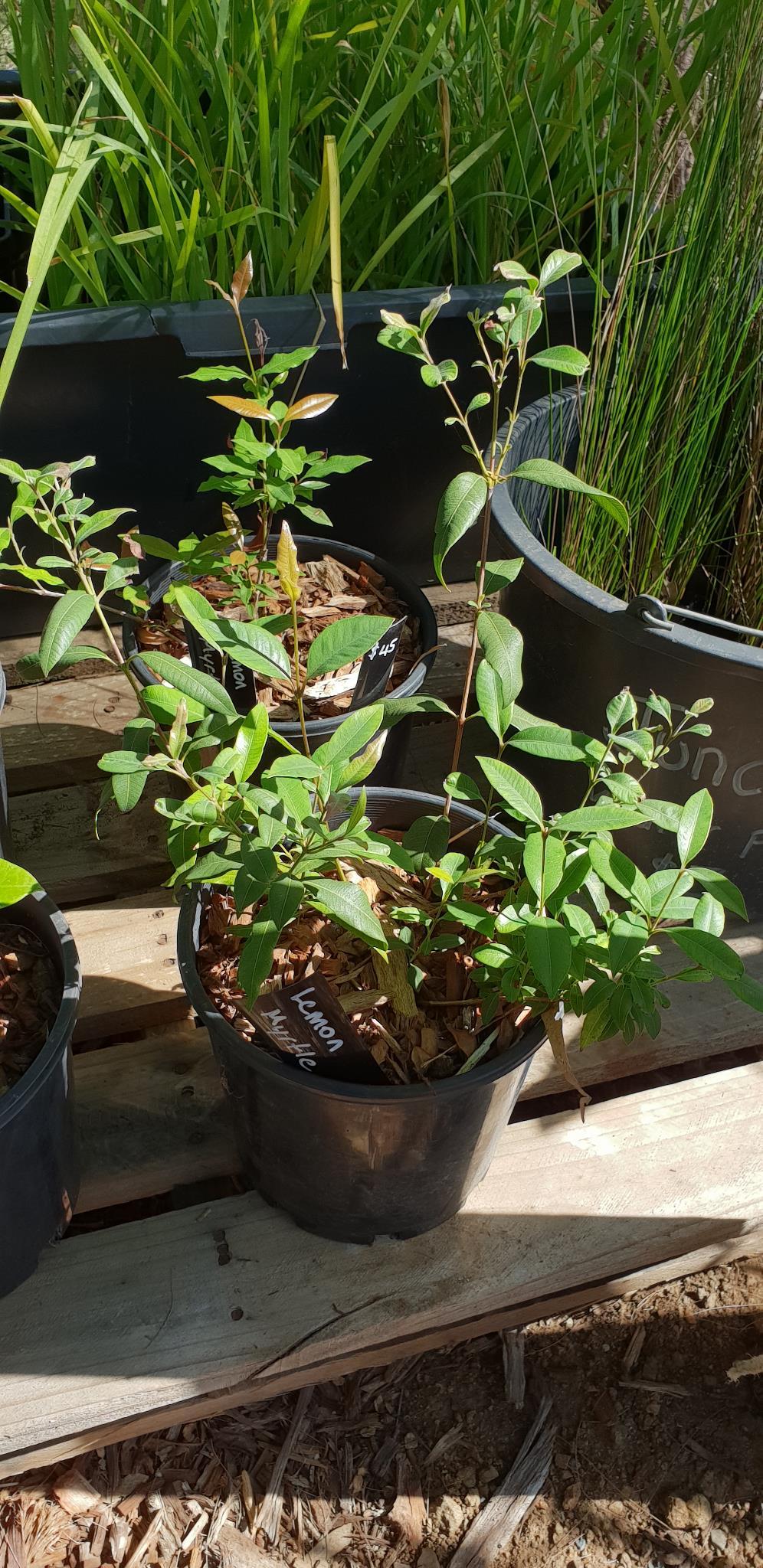 Lemon Myrtle - Backhousia citriodora