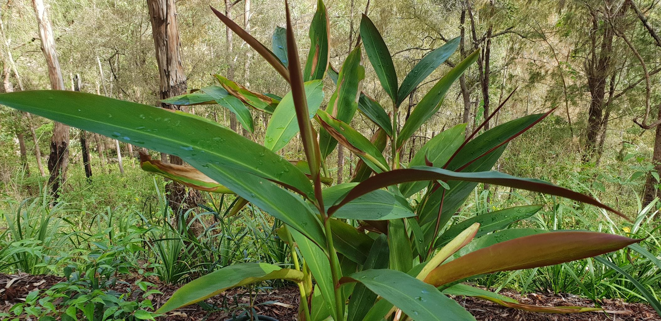 Native Ginger - Alpinia caerulea