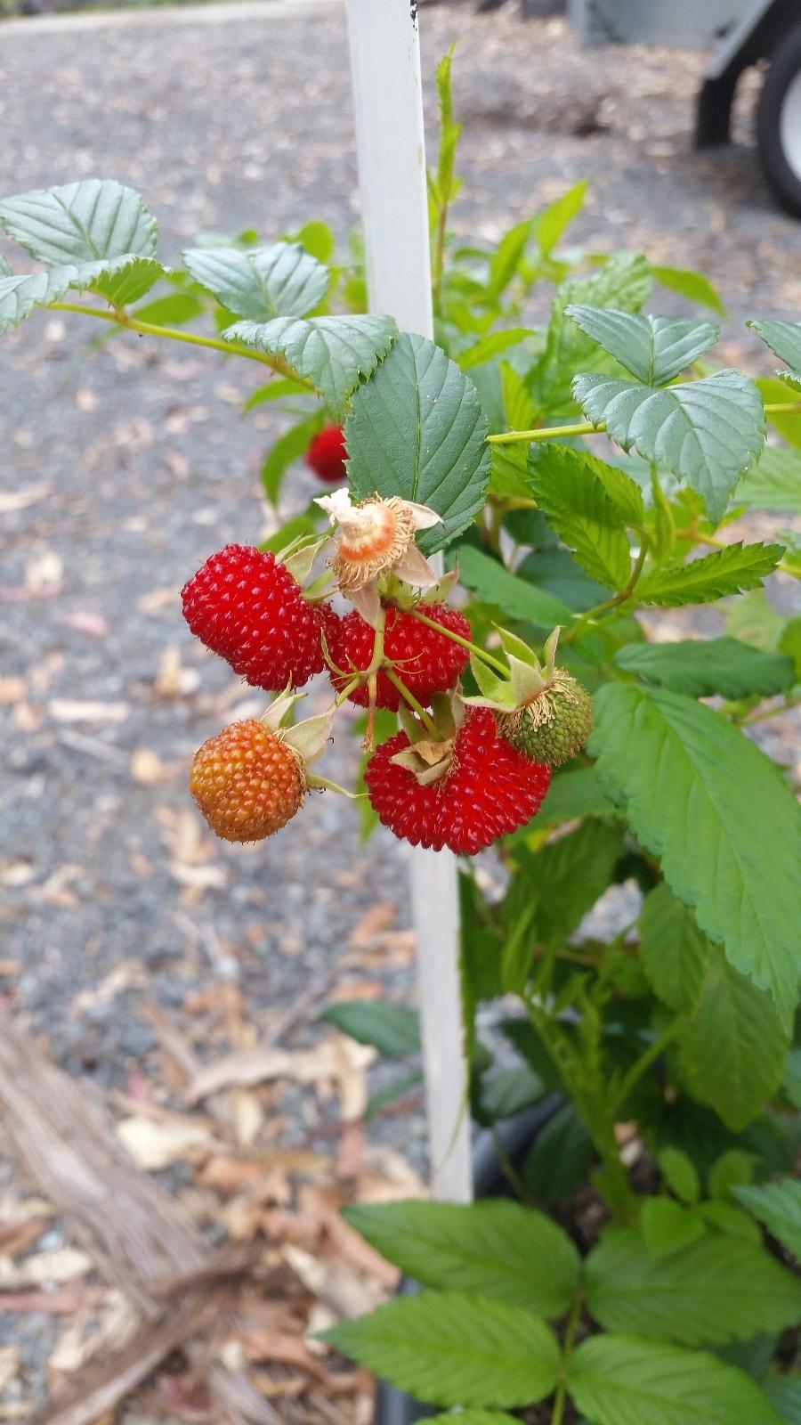 Sweet Native Raspberry - Fruit