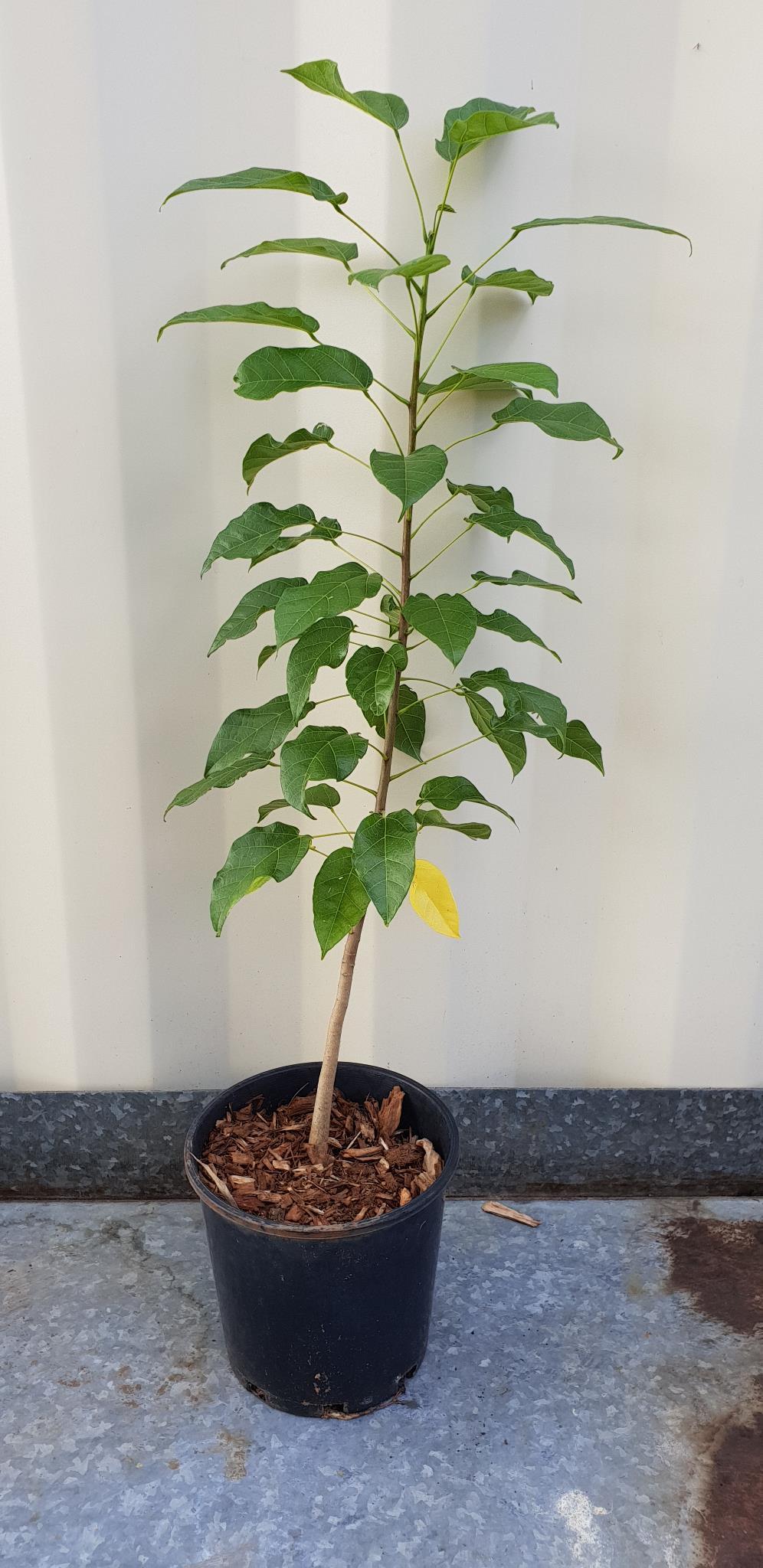 Peanut-Tree - Foliage