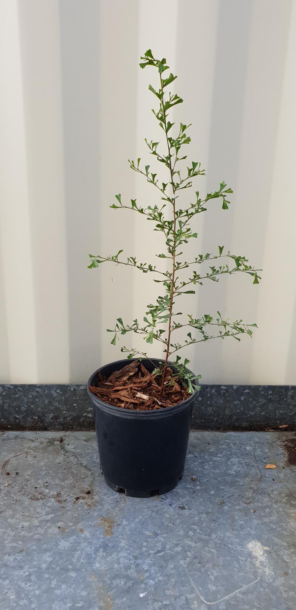 Triangle-leaved Hop Bush