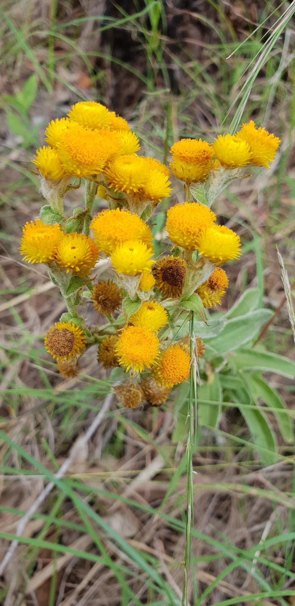 Yellow buttons - Chrysocephalum apiculatum