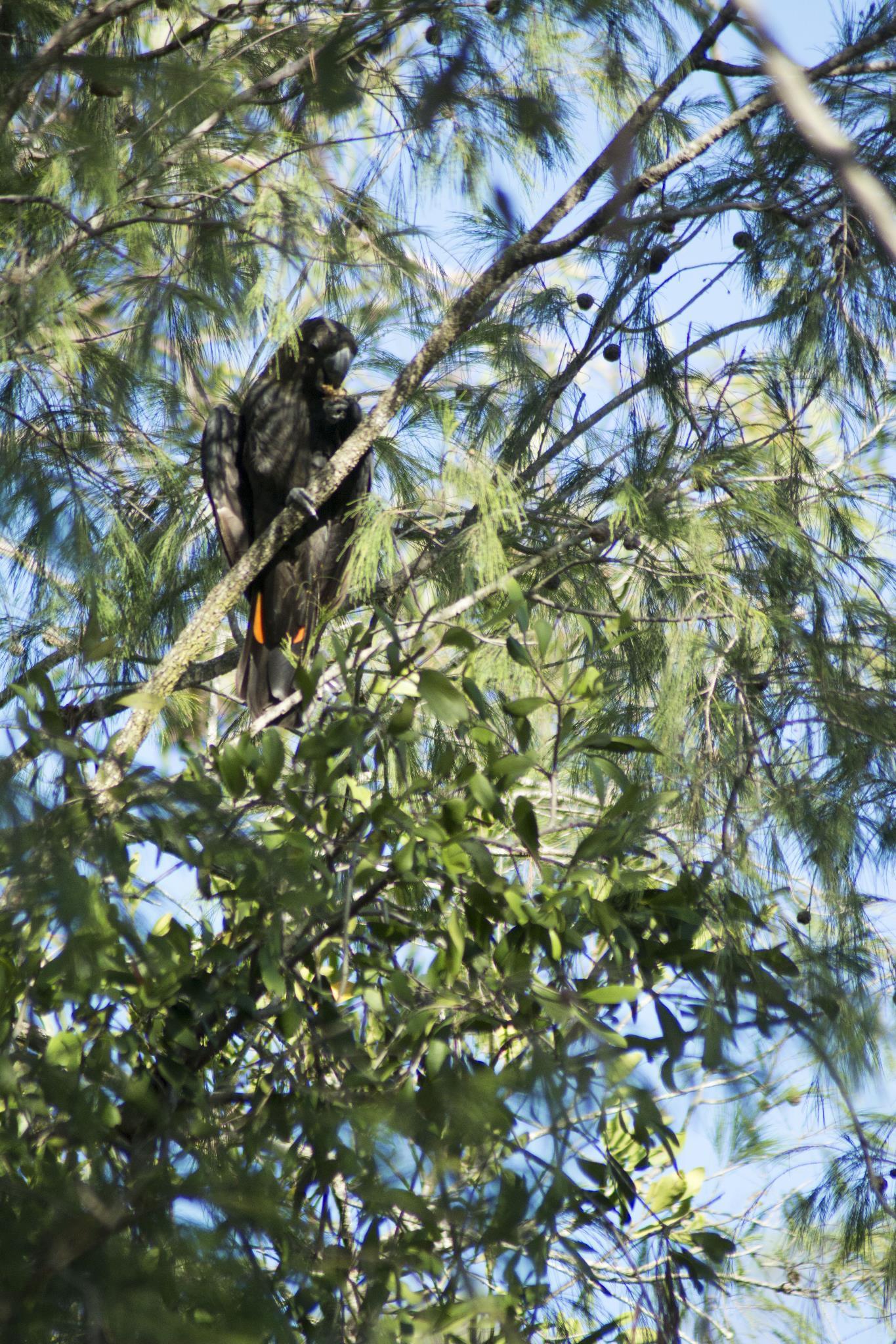 Glossy Black Cockatoo in a She Oak at the Nursery