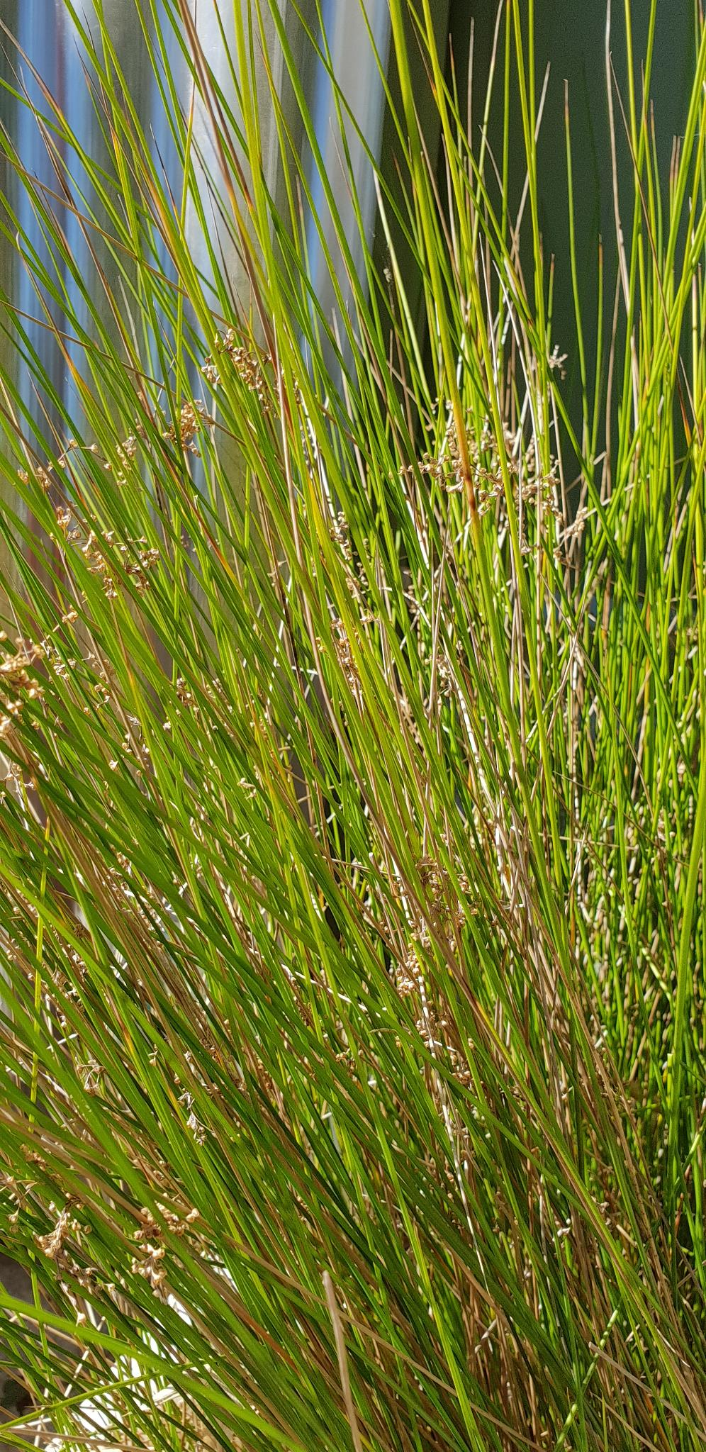 Common Rush - Juncus usitatus