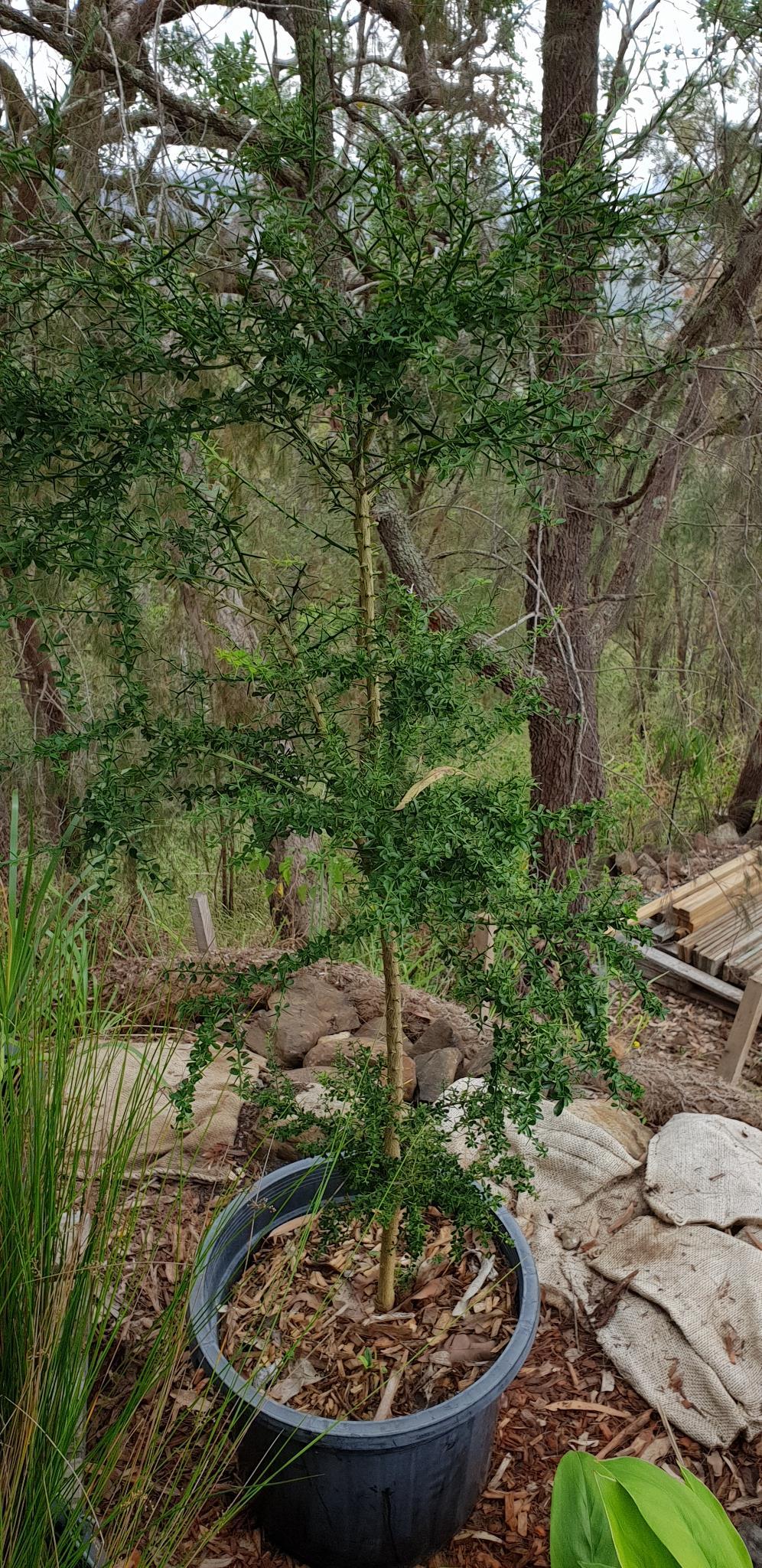 Native Round Lime - Citrus australis