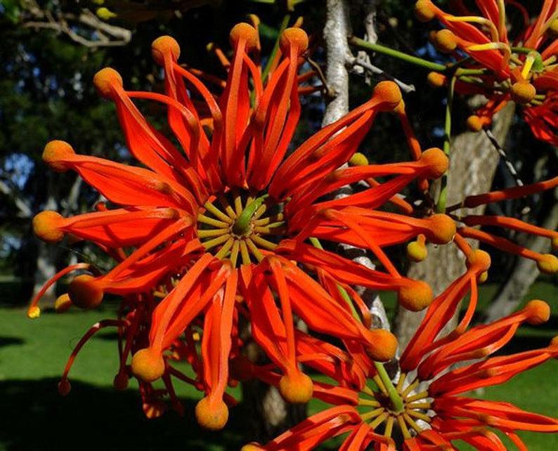 Firewheel Tree - Stenocarpus sinuatus