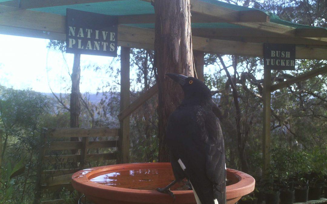 Native Birds at the Nursery