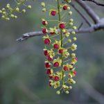 Leichhardt Bean - Cassia brewsterii