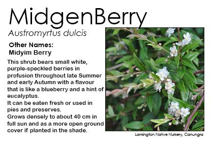 Austromyrtus dulcis - Midgen Berry