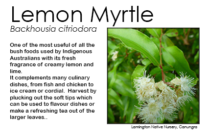 Backhousia citriodora - Lemon Myrtle