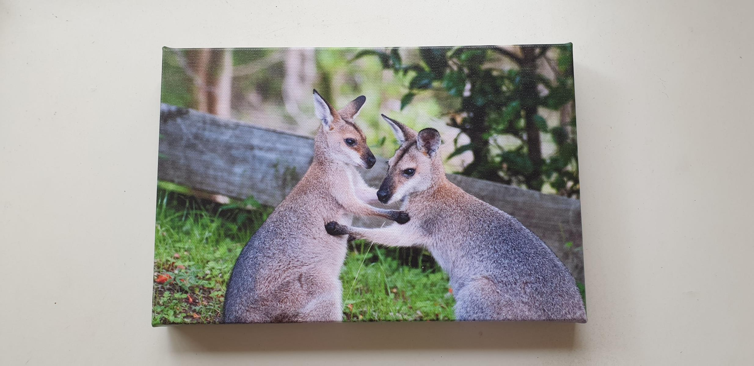 Red-necked Wallabies - Canvas