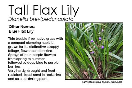 Tall Flax Lily - Dianella brevipedunculata
