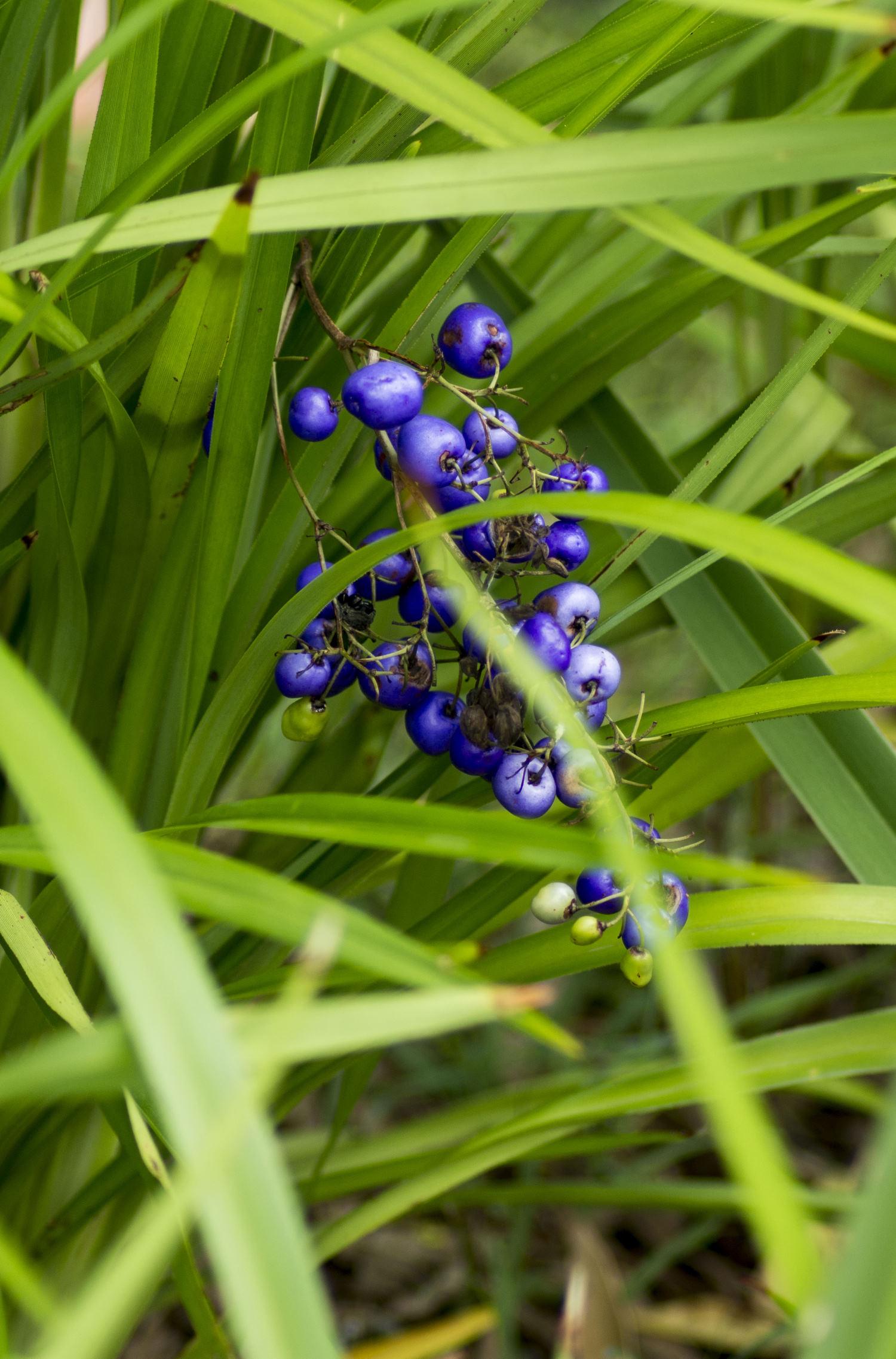 Dianella caerulea - Berries