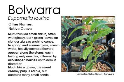 Eupomatia laurina - Bolwarra