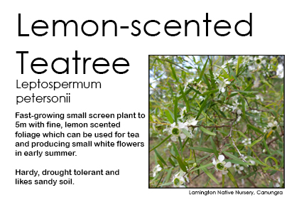 Leptospermum petersonii - Lemon-scented Tea Tree