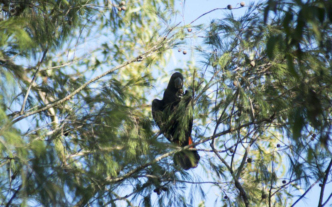 Glossy Black Cockatoos visit the Nursery